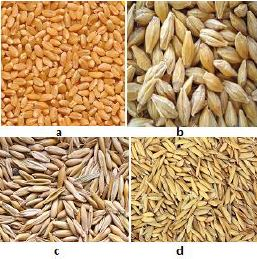 wheat-, barley-, oat- and rice kernels